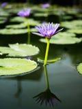 Loto violeta de la belleza en agua Fotos de archivo