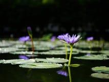 Loto violeta de la belleza en la falta de definición del fondo Imagen de archivo libre de regalías