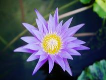 Loto violeta de la belleza en la falta de definición del fondo Fotos de archivo libres de regalías