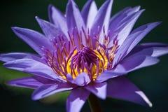 Loto violeta en el lago Imagen de archivo