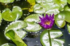 Loto violeta floreciente hermoso del lirio de agua Foto de archivo libre de regalías
