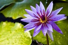 Loto violeta tailandés Fotografía de archivo libre de regalías