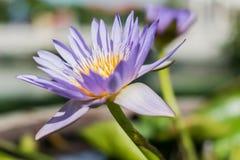 Loto violeta tan hermoso Imagen de archivo