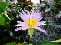 Loto violeta y dos abejas Imagen de archivo libre de regalías
