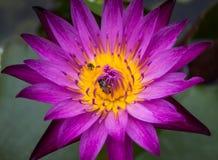 Loto violeta y pequeña abeja Foto de archivo