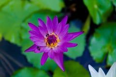 Loto violeta y una abeja Fotos de archivo libres de regalías