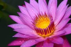 Loto - Waterlily Fotografia Stock Libera da Diritti