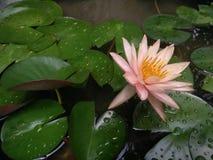 loto, waterlily Imágenes de archivo libres de regalías