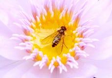 Loto y abeja Imagen de archivo