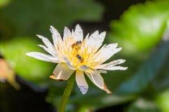 Loto y abeja Fotografía de archivo libre de regalías