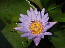 Loto y abeja Fotos de archivo libres de regalías