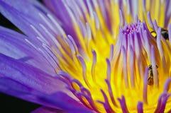 Loto y abejas. Foto de archivo libre de regalías