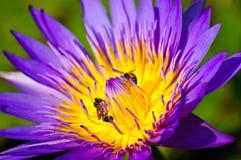 Loto y abejas. Fotografía de archivo