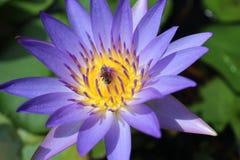 Loto y abejas púrpuras Fotos de archivo libres de regalías