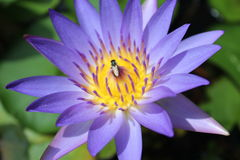 Loto y abejas púrpuras Imagen de archivo libre de regalías