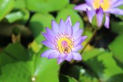 Loto y abejas púrpuras Fotografía de archivo libre de regalías