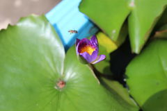 Loto y abejas púrpuras Imágenes de archivo libres de regalías