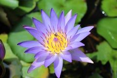 Loto y abejas púrpuras Foto de archivo libre de regalías