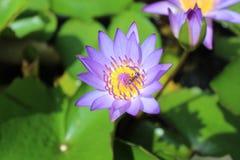 Loto y abejas púrpuras Fotografía de archivo