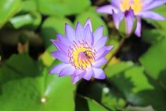 Loto y abejas púrpuras Imagenes de archivo