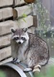 浣熊(浣熊属lotor)坐看对观察者的桶 免版税图库摄影