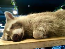 Lotor de Procyon de raton laveur de sommeil avec la fourrure gris-clair image stock