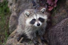 Lotor del Procyon del mapache Fotos de archivo
