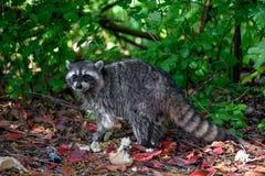 Lotor del Procyon del mapache en el arbusto con un poco de residuos orgánicos humanos ausentes lanzados como el pan fotos de archivo