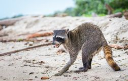 Lotor femenino adulto del Procyon del mapache en la playa imagenes de archivo