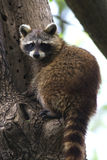 Lotor Procyon/del Raccoon Immagini Stock