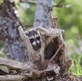 Lotor Procyon Raccoon Стоковая Фотография