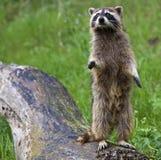 Lotor van Procyon van de wasbeer op logboek royalty-vrije stock fotografie