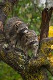 Lotor van wasberenprocyon kijkt net van Oplichter van Boom royalty-vrije stock foto