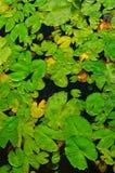 Lotosów liść Zdjęcie Royalty Free