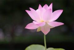 lotos obrazy stock