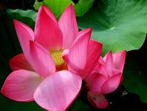 lotos Zdjęcie Royalty Free