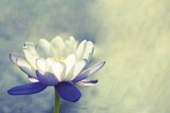 lotos fotografia stock