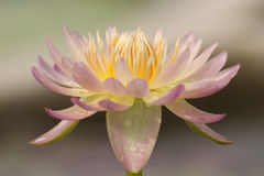 lotos Obraz Royalty Free