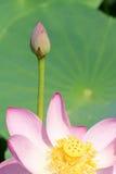 lotos Lizenzfreies Stockfoto