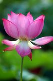 lotos zdjęcie stock