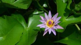 lotos stock footage