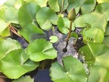 lotos Lizenzfreies Stockbild