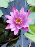 lotos Stockbilder
