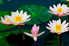 lotos lizenzfreie stockbilder