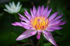 lotos ładny Obraz Royalty Free