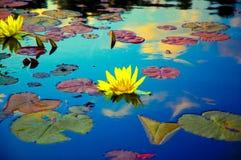 Lotos auf einem Teich Lizenzfreies Stockfoto
