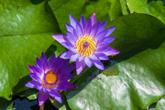 Lotos azules con una abeja Fotos de archivo libres de regalías