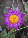 Lotus. Flower lotus in water Stock Image