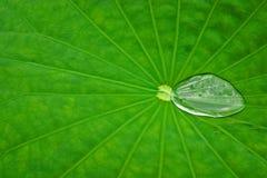 Lotos-Blatt mit Wasserluftblase Stockfoto