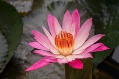 lotos bloom zdjęcie stock